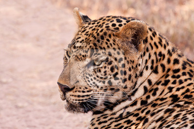 Naklejka Mężczyzna leopard leży w cieniu