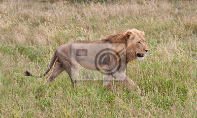 Mężczyzna lew czerstwienie jego zdobycz