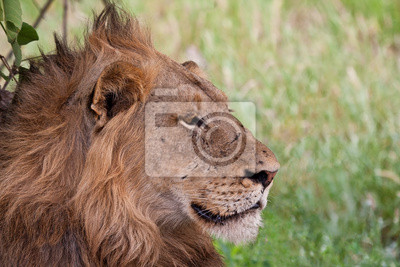 Mężczyzna lew leżący w cieniu