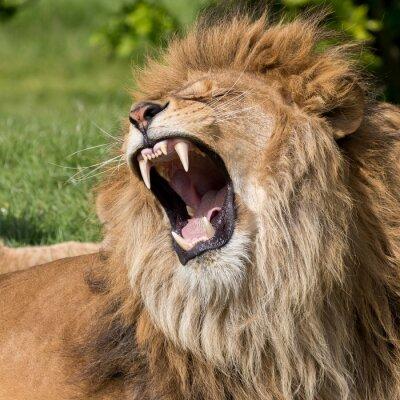 Naklejka Mężczyzna lew o ziewnięcie