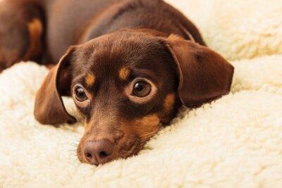 Naklejka mieszane pies relaks na łóżku w domu