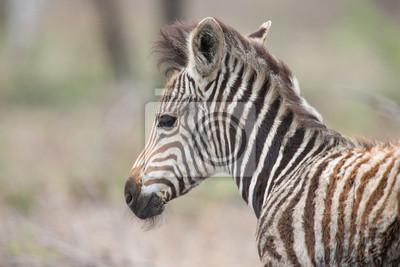 Naklejka Młoda zebra źrebię portret dziecka stojącego samotnie w przyrodzie