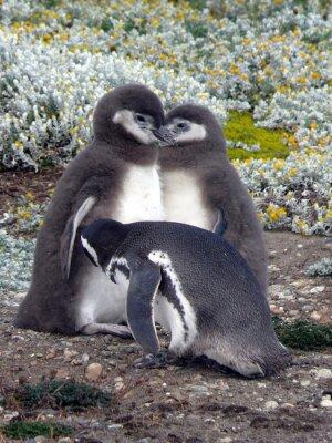 Naklejka Młode pingwiny Magellana z jednym z rodziców, Chile