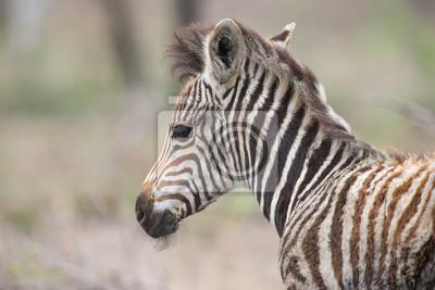 Naklejka Młody dziecko zebry źrebię portret stoi samotnie w naturze