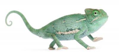 Naklejka Młody Kameleon jemeński, Kameleon jemeński