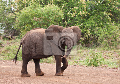 Naklejka Młody słoń chodzenia na drodze