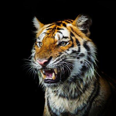 Naklejka Młody tygrys sumatrzański wychodzi z fantomu