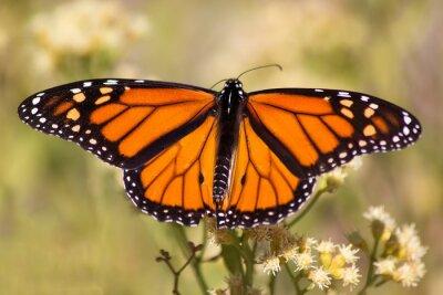 Naklejka Monarch Butterfly