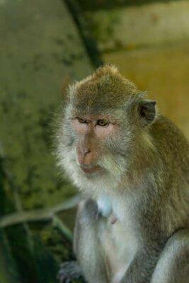 Naklejka Monkeys in Ubud Bali