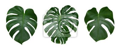 Naklejka Monstera liści roślin, tropikalnych wiecznie winorośli samodzielnie na białym tle, clipping path included