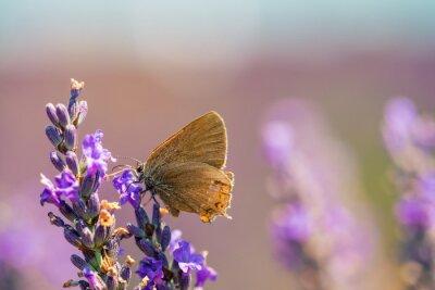 Naklejka Motyl na łące lawendy