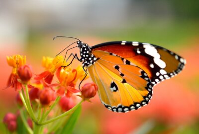 Naklejka Motyl na pomarańczowy kwiat w ogrodzie