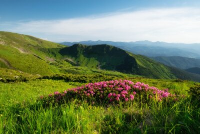 Naklejka Mountain landscape in summertime. Blossoming mountain alpine meadows. Field and mountains in the daytime. Travel and hiking.
