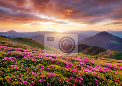 Naklejka Mountains during flowers blossom and sunrise. Flowers on the mountain hills. Beautiful natural landscape at the summer time. Mountain-image