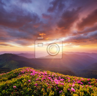 Naklejka Mountains during flowers blossom and sunrise. Flowers on the mountain hills. Beautiful natural landscape at the summer time. Natural background