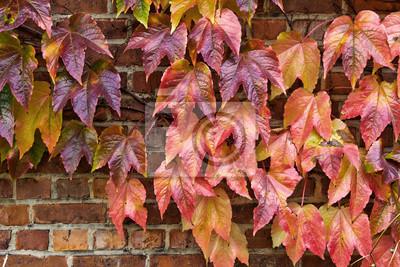 Mur z cegły z domu porośnięte liściach winogron. Autumn.