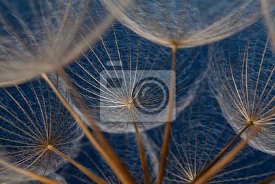 Nasiona Jaskier na niebieskim tle