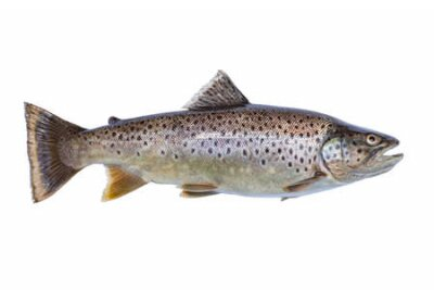 Naklejka Nice brown trout eighteen inches long caught in northern Minnesota isolated on white background