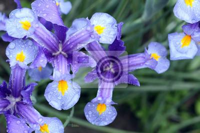 Niebieski kolorowy kwiat irysa