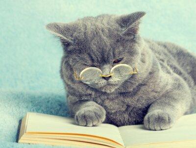 Naklejka Niebieski Kot brytyjski nosi okulary leżące na książki