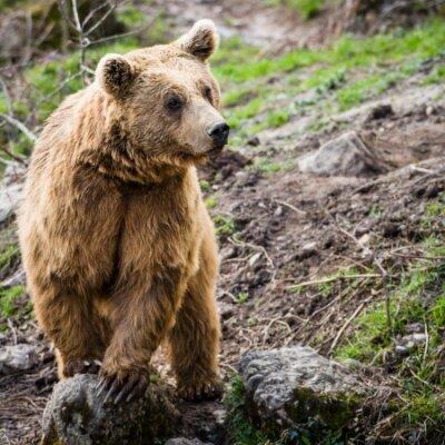 Naklejka Niedźwiedź brunatny (Ursus arctos)