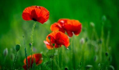Niesamowite pole maku. Letnie kwiaty.