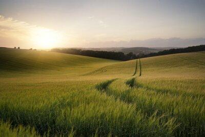 Naklejka Obraz Letni krajobraz pola pszenicy o zachodzie słońca piękne l