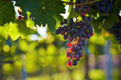 Naklejka Oddział czerwonymi winogronami