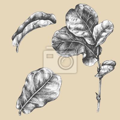 Oddział Ficus z liści.