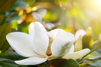Naklejka Oddział w kwiat białej magnolii bliska