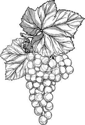 Naklejka Oddział winogron kiść winogron i liści.