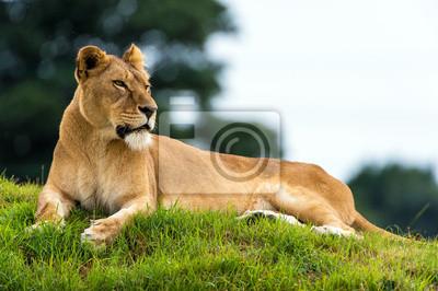 Odpoczynku Lioness