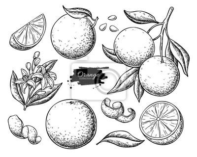 Naklejka Orange fruit vector drawing set. Summer food engraved  illustration.