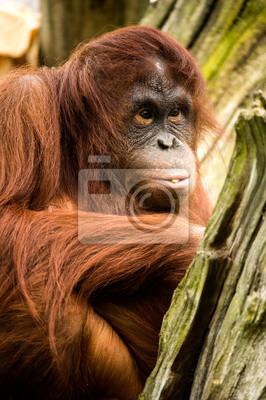 Naklejka orangutan