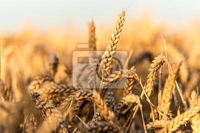 Ote pole pszenicy