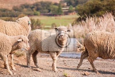 Naklejka Owce w środku stada