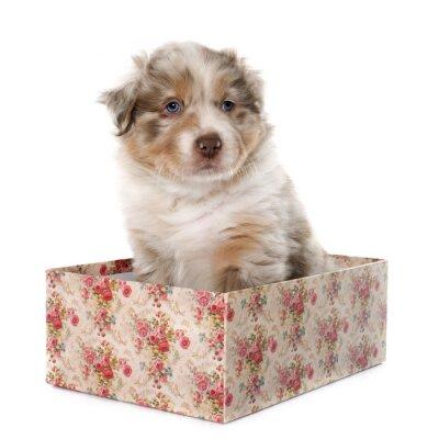 Naklejka Owczarek australijski puppy
