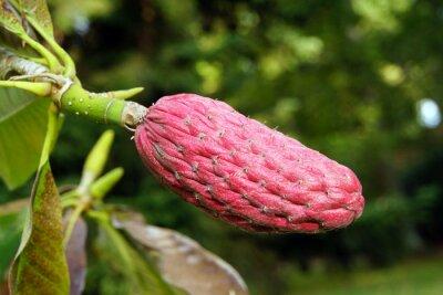 Naklejka Owoce przed chinesiche Magnolia