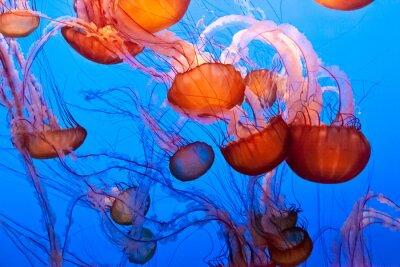 Naklejka Pacific Sea Nettle