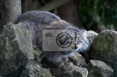 Pallas Cat (Felis Manul) / Pallas Cat na skalistej powierzchni przed liśćmi gęstego