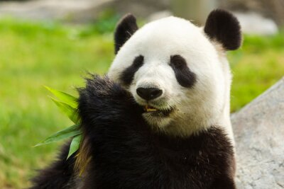 Naklejka Panda bear jedzenie bambusa