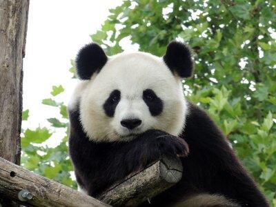 Naklejka Panda Geant 3