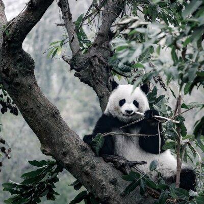 Naklejka Panda na drzewie