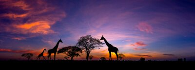 Naklejka Panorama silhouette Giraffe family and  tree in africa with sunset.Tree silhouetted against a setting sun.Typical african sunset with acacia trees in Masai Mara, Kenya