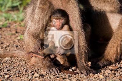 Pawian Baby gry z matką
