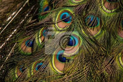 Naklejka Pawie pióra