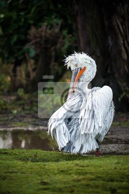 Pelican Dalmacji