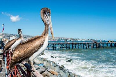 Naklejka Pelican na rynku rybnym Valparaiso, Chile