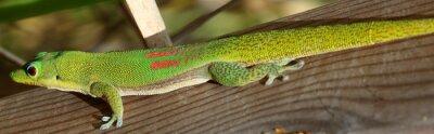 Naklejka petit lézard vert de Madagascar