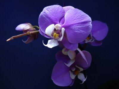 Naklejka Phalaenopsis.